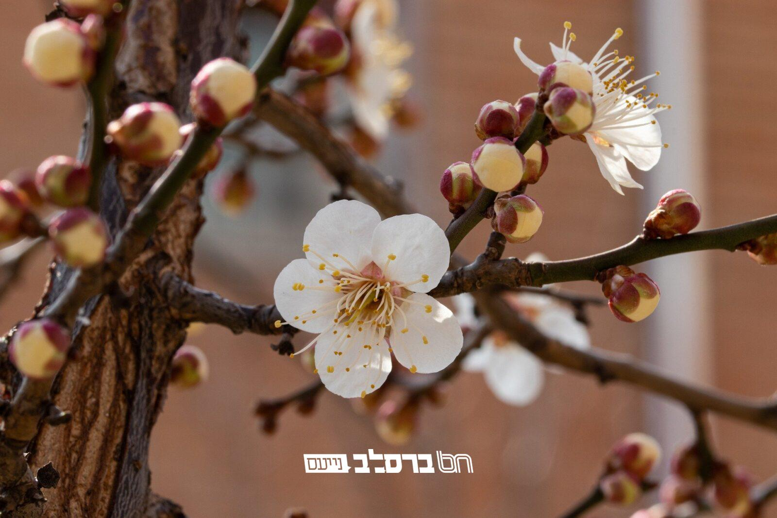 אִילָנֵי דִמְלַבְלְבֵי • חודש ניסן: הרואה אילנות מאכל המלבלבים מברך 'ברכת האילנות'